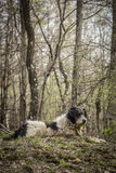 Portrait of romanian mioritic sheepdog Royalty Free Stock Photo