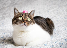 Portrait of a romantic tabby cat with a rose on its head. Funny colored cat with striped head and white body Royalty Free Stock Image