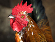 Portrait of rooster Stock Photo