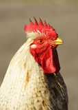 Portrait of a rooster. Portrait of a staring rooster stock photo