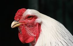 Portrait of rooster. Side portrait of rooster with black background Stock Image