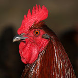 Portrait of a rooster Royalty Free Stock Images
