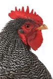 Portrait rooster Royalty Free Stock Images