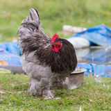 Portrait of a rooster Royalty Free Stock Photos