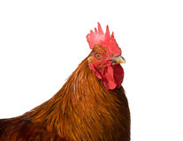 Portrait of a rooster isolated on white background. Portrait of the red rooster isolated on white background closeup Stock Photo
