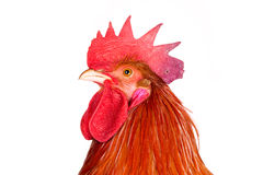 Portrait of a rooster, looking up Stock Image