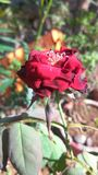 Beautiful Red Rose flower Stock Photography