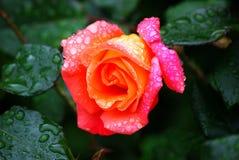 Portrait of rose stock photos
