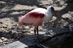 Portrait of a roseate spoonbill bird Stock Images