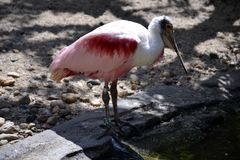 Portrait of a roseate spoonbill bird Royalty Free Stock Photo