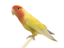 Portrait of Rosy-faced Lovebird. Agapornis roseicollis, also known as the Peach-faced Lovebird against white background Royalty Free Stock Images