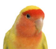 Portrait of Rosy-faced Lovebird. Agapornis roseicollis, also known as the Peach-faced Lovebird against white background Stock Image
