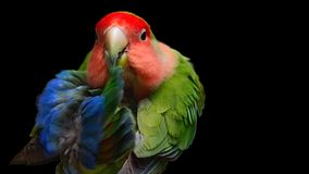Portrait of Rosy-faced lovebird on black background stock image