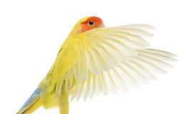 Portrait of Rosy-faced Lovebird flying. Agapornis roseicollis, also known as the Peach-faced Lovebird in front of white background Stock Photography