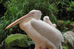 Portrait of rosy pelicans pelecanidae, pelecanus pair. Photography of nature and wildlife royalty free stock photography