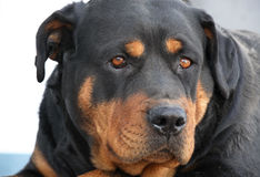 Portrait of a Rottweiler Stock Photos