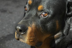 Portrait of a rottweiler. Portrait of a 5-year old  rottweiler Royalty Free Stock Images