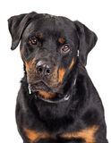 Portrait Rottweiler Dog Drooling Stock Photo