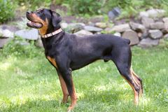 Portrait of Rottweiler Dog looking up side full body view Stock Photos