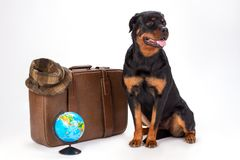 Portrait of rottweiler dog and travelling accessories. Young purebred rottweiler dog sitting with travel bag, hat and globe in studio. Holiday and resort Royalty Free Stock Images