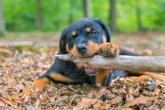 Portrait of rottweiler puppy biting branch in nature. Portrait of young rottweiler dog biting branch in forest royalty free stock photo