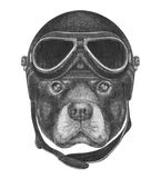 Portrait of Rottweiler with Vintage Helmet. Royalty Free Stock Photo