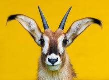 Portrait rouan d'antilope Images stock