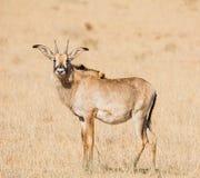 Portrait rouan d'antilope Photo stock