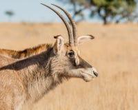Portrait rouan d'antilope Photos stock