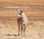Portrait rouan d'antilope Images stock