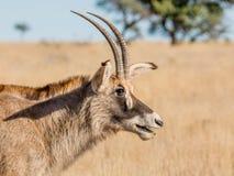 Portrait rouan d'antilope Image stock