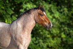 Portrait rouan de cheval Photo stock