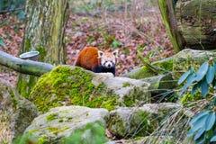 Portrait rouge d'ours panda, avec des pierres dans le premier plan Image libre de droits