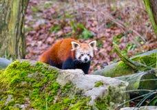 Portrait rouge d'ours panda, avec des pierres dans le premier plan Image stock
