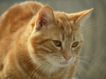Portrait rouge de chat Images libres de droits