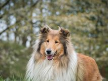 Portrait of rough collie stock photography