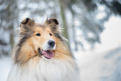 Portrait of rough collie, winter Stock Photo