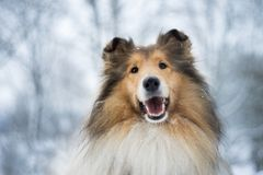 Portrait of rough collie, winter Royalty Free Stock Photography