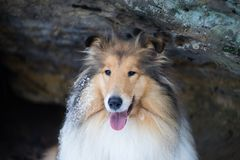 Portrait of rough collie, winter Royalty Free Stock Photos