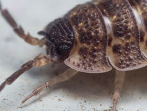 Portrait of a Rough Woodlouse Royalty Free Stock Photos