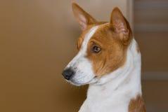 Portrait of royal basenji dog (side view) Stock Photos