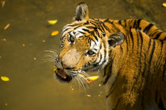 Portrait of a Royal Bengal tiger. Alert and staring at the camera Stock Photo