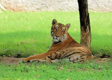 Royal Bengal Tiger resting - Panthera Tigris Tigris - Chattbir Zoo - Chandigarh - India. The Royal Bengal Tiger is one of the five sub-species distributed Stock Photography