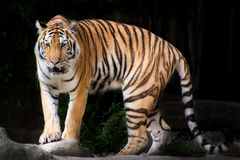 Portrait of a Royal Bengal tiger in thailand Stock Photo