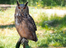 Portrait of royal owl in the grass, Spain. Portrait of royal owl in the grass Royalty Free Stock Photos