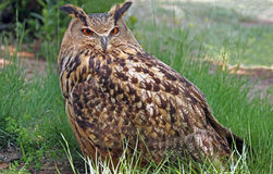 Portrait of royal owl in the grass. Spain Royalty Free Stock Images