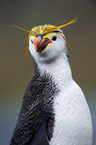 Portrait of a Royal Penguin Stock Photography