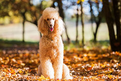 Portrait of a royal poodle Royalty Free Stock Photography