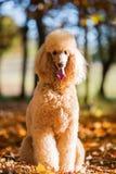 Portrait of a royal poodle Stock Image