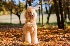 Portrait of a royal poodle. In an autumn forest Royalty Free Stock Photography